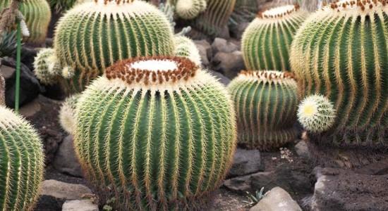 Echinocactus grusonii, сайт www.yunphoto.net